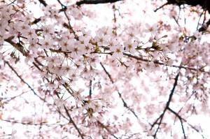 桜イメージ