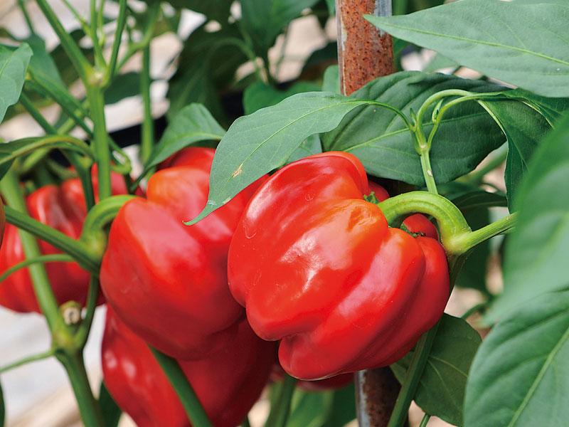 夏野菜の収穫体験&BBQ