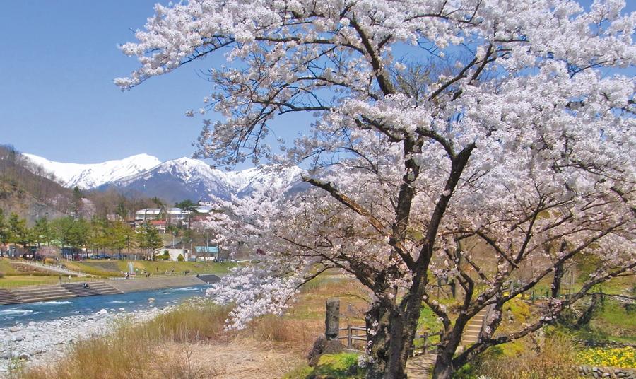 諏訪峡の桜